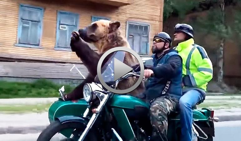 Increíble..!! Oso pardo se pasea en sidecar por Rusia