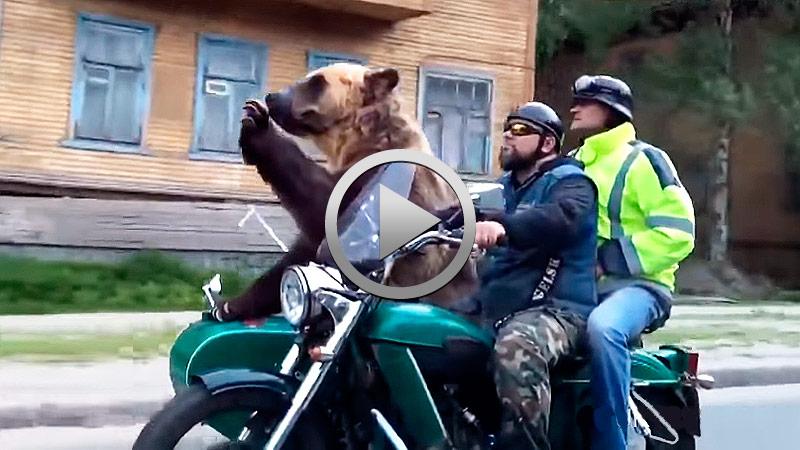 20170727-tmw-videos-oso-pardo-se-pasea-en-sidecar-por-rusia